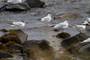 Sandwich Tern and Black-headed Gulls IMG_9457