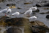 Sandwich Terns IMG_9462