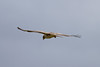 Hen Harrier IMG_9319