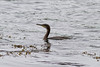 Great Cormorant IMG_9194