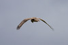 Hen Harrier IMG_9316