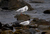 Black-headed Gulls IMG_9456