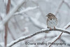 Song Sparrow_DSC7182 copy