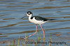 Black-necked Stilt_DEW1120 copy