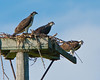 This is one adult with two young Osprey on their nesting platform at Carver Park in Victoria, Minnesota 7-29-2011.