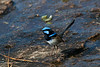 Fairy Wren (male)