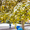 The fall's first snowfall sticks to the leaves on a birch tree near Constitution Park on the Fairbanks campus.  Filename: CAM-13-3944-8.jpg