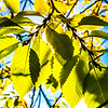 """The sun shines through colorful leaves on a September day on the Fairbanks campus.  <div class=""""ss-paypal-button"""">Filename: CAM-13-3938-31.jpg</div><div class=""""ss-paypal-button-end""""></div>"""