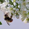 Bees gather necter from crabapple blossoms on the Fairbanks campus in early summer.  Filename: CAM-10-2799-33.jpg