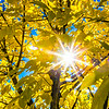 """The sun shines through colorful leaves on a September day on the Fairbanks campus.  <div class=""""ss-paypal-button"""">Filename: CAM-13-3938-8.jpg</div><div class=""""ss-paypal-button-end""""></div>"""