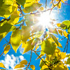 """The sun shines through colorful leaves on a September day on the Fairbanks campus.  <div class=""""ss-paypal-button"""">Filename: CAM-13-3938-27.jpg</div><div class=""""ss-paypal-button-end""""></div>"""