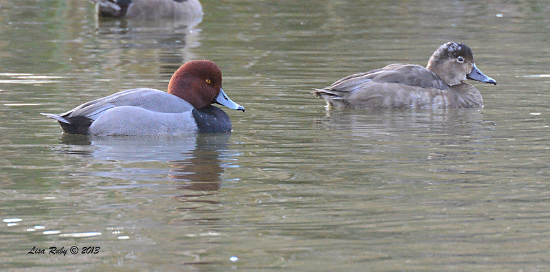 Red Head Pair - 12/8/13 - Poway Pond