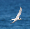 Common Tern - 10/6/13 - Imperial Beach