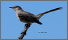Northern Mockingbird - 2/7/13 - Our yard in Sabre Springs