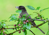 Eastern Phoebe - 6/29/13 - Decorah, Iowa