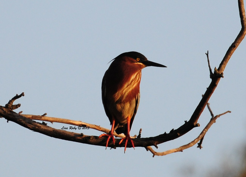 Green Heron at Poway Pond. 4/12/2013