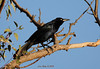 Great-tailed Grackle,male - 5/27/13 - Poway Pond