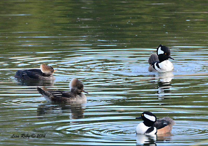 Hooded Mergansers - 1/4/14 - Rancho Bernardo Inn Golf Course, CBC