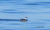 Common Murre - Pegalic Trip - 3/2/13