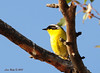 Common Yellowthroat - Poway Pond - 5/27/13