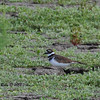 Killdeer  - 9/22/13 - Lindo Lake
