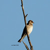 Northern Rough-winged Swallow - 4/12/13 - Poway Pond