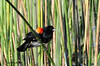 Red-winged blackbird, Poway Pond. 5/27/13.