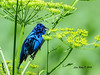 Indigo Bunting - Decorah Iowa -  6/28/13
