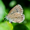Pale Grass Blue (Zizeeria maha)