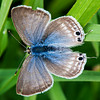 Pea Blue  Long-tailed Blue (Lampides boeticus) female