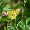 Eastern Pale Clouded Yellow  (Colias erate) male