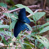 Great Mormon (Papilio memnon agenor)