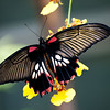 Great Mormon (Papilio memnon agenor)  Female form distantianus