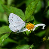Margined Hedge Blue (Celatoxia marginata)