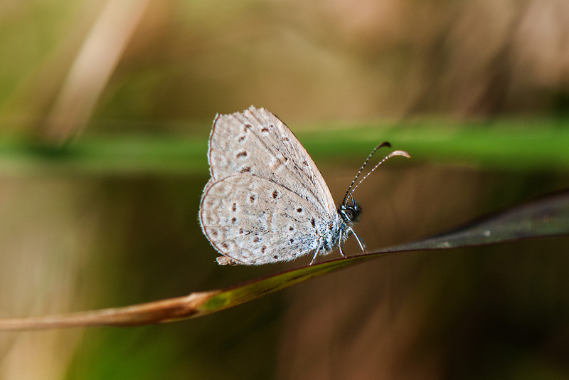 Gaika Blue or Tiny Grass Blue (Zizula hylax)