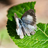 Common Hedge Blue (Acytolepsis puspa myla)