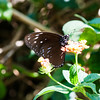 Striped Blue Crow (Euploea mulciber barsine) male