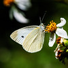 Cabbage White (Pieris rapae crucivora