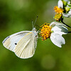 Cabbage White (Pieris rapae crucivora)