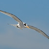 Elegant Tern - 10/6/13 - Imperial Beach, end of Seacoast Drive