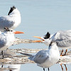 Begging Royal Tern - 1/18/2014 - Salt Works