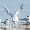 Royal Terns - 1/18/2014 - Salt Works