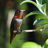 Allen's Hummingbird - 7/22/2013 - Our backyard in Sabre Springs