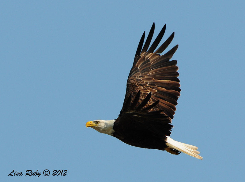Bald Eagle (think this was Mom) - 7/1/2012 - Decorah, Iowa