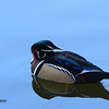 Wood Duck - 12/23/2013 - Santee Lakes
