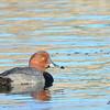 Redhead - 12/23/2013 - Santee Lakes