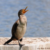 Immature Double-crested Cormorant