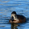 Female Ring-necked Duck - 12/23/2013 - Santee Lakes