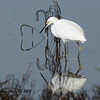 Snowy Egret - 10/27/2013 - Salt Works