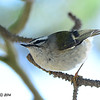 Golden Crowned Kinglet - 1/3/14 - FRNC